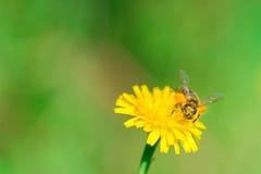 Ape del miele che raccoglie coregone lavarello Fotografie Stock Libere da Diritti