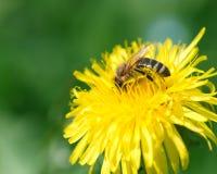Ape del miele che raccoglie coregone lavarello Immagine Stock Libera da Diritti