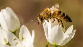 Ape del miele che raccoglie nettare fotografia stock libera da diritti