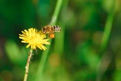 Ape del miele che raccoglie nettare dal fiore del dente di leone Immagini Stock Libere da Diritti