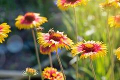 Ape del miele che raccoglie polline da un fiore di fioritura fotografia stock