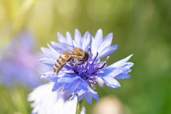 Ape del miele che raccoglie polline da un fiore di fioritura immagine stock libera da diritti