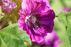 Ape del miele che raccoglie polline da un fiore di fioritura fotografia stock libera da diritti