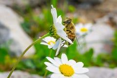Ape del miele che raccoglie polline e nettare da Daisy Chamomile fotografie stock libere da diritti