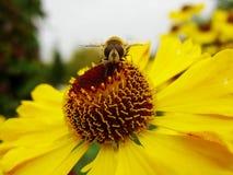 Ape del miele che raccoglie polline sul fiore rosso della sposa del sole, autumnale di helenio Fiore dell'arnica nel giardino ves Immagine Stock Libera da Diritti