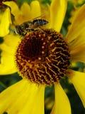 Ape del miele che raccoglie polline sul fiore rosso della sposa del sole, autumnale di helenio Fiore dell'arnica nel giardino ves Fotografie Stock Libere da Diritti