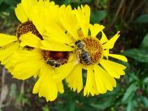 Ape del miele che raccoglie polline sul fiore rosso della sposa del sole, autumnale di helenio Fiore dell'arnica nel giardino ves Fotografie Stock
