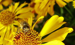 Ape del miele che raccoglie polline sul fiore rosso della sposa del sole, autumnale di helenio Fiore dell'arnica nel giardino ves Immagini Stock