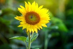 Ape del miele coperta di polline giallo che raccoglie nettare in fiore L'animale sta sedendosi la raccolta in girasole soleggiato fotografia stock