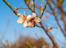 Ape del miele in fiore della mandorla che raccoglie polline immagine stock libera da diritti