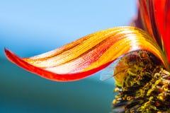 Ape del miele sotto un singolo petalo del girasole di prado fotografia stock libera da diritti