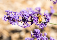 Ape del miele su lavanda Fotografia Stock