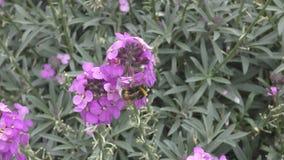 Ape del miele su un fiore stock footage
