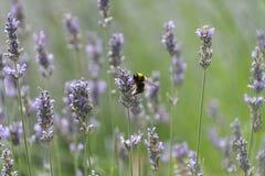 Ape del miele su un fiore della lavanda Immagini Stock