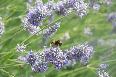 Ape del miele su un fiore della lavanda Immagine Stock Libera da Diritti