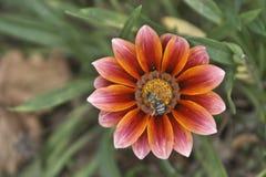 Ape del miele su un fiore di Gazania Immagini Stock Libere da Diritti