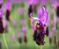Ape del miele, su veccia trapuntata (Vi Immagine Stock