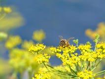 Ape del miele sui fiori gialli fotografia stock