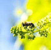 Ape del miele sui frutti di maturazione dell'uva Immagine Stock Libera da Diritti