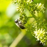 Ape del miele sui frutti di maturazione dell'uva Immagine Stock