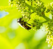 Ape del miele sui frutti di maturazione dell'uva Fotografie Stock
