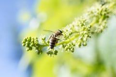 Ape del miele sui frutti di maturazione dell'uva Immagini Stock
