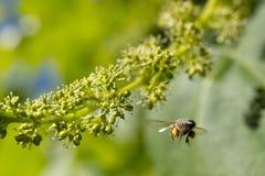 Ape del miele sui frutti di maturazione dell'uva Fotografia Stock Libera da Diritti