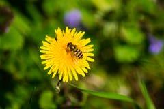 Ape del miele sul fiore Fotografia Stock Libera da Diritti