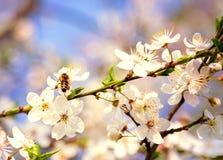 Ape del miele sul fiore di ciliegia Fotografia Stock Libera da Diritti