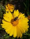 Ape del miele sul fiore giallo fotografie stock libere da diritti