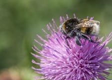Ape del miele sull'aster blu Immagini Stock Libere da Diritti