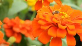 Ape del miele in un fiore arancio di zinnia archivi video