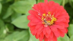 Ape del miele in un fiore rosso di zinnia stock footage