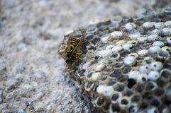 Ape dell'asino, api selvagge, nido delle api dell'asino, api tossiche pericolose, api selvagge dell'asino in favo Fotografia Stock Libera da Diritti
