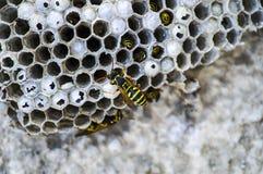 Ape dell'asino, api selvagge, nido delle api dell'asino, api tossiche pericolose, api selvagge dell'asino in favo Fotografie Stock