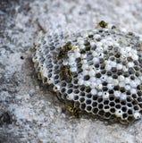 Ape dell'asino, api selvagge, nido delle api dell'asino, api tossiche pericolose, api selvagge dell'asino in favo Immagine Stock