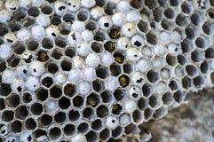 Ape dell'asino, api selvagge, nido delle api dell'asino, api tossiche pericolose, api selvagge dell'asino in favo Fotografia Stock