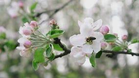 Ape dettagliata del primo piano che raccoglie polline dal fiore nel meleto sbocciante, movimento lento stock footage