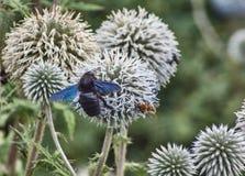 Ape di carpentiere che mangia polline sul fiore fotografia stock libera da diritti