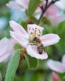 Ape di Hoeny sul fiore del fiore di melo Immagini Stock Libere da Diritti