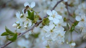 Ape di lavoro che raccoglie polline da di melo sbocciante stock footage