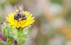 Ape di lavoro sul fiore giallo Fotografie Stock Libere da Diritti