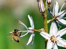 Ape di Shoham sul fiore 2011 dell'asfodelo Immagine Stock