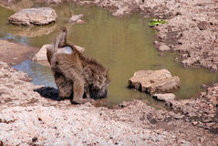Ape drinking water in Samburu National Reserve Royalty Free Stock Photo