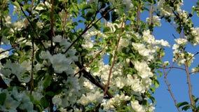 Ape due su un fiore di melo archivi video