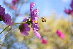 Ape e fiore Immagine Stock