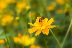 Ape e fiore giallo Immagine Stock