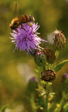 Ape e fiore in natura Immagini Stock