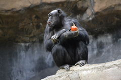 Ape Eating Onion Royalty Free Stock Images