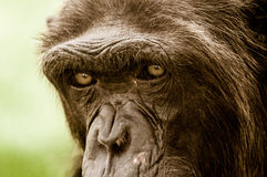 Ape Eyes. A wise ape in Al Ain Zoo, the eyes tell a huge amount of pain stock photography